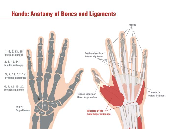 anatomy of hand palm - ModernHeal.com
