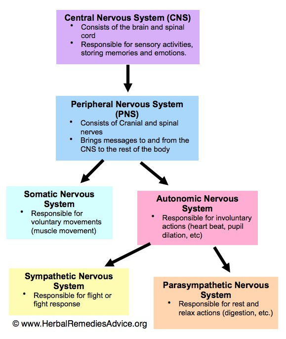 structure and factors of the central nervous system Nervous system disorders  parkinson's disease: a degenerative disorder of the central nervous system alzheimer's disease:  parkinson's disease causes the loss of dopamine neurons in the substantia nigra, a midbrain structure that regulates movement loss of these neurons causes many symptoms including tremor (shaking of fingers or.