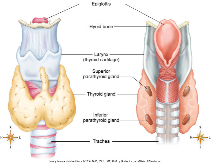 endocrine system definition – localprivate, Human Body