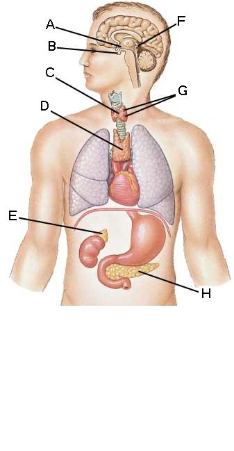 Endocrine System Diagram To Label