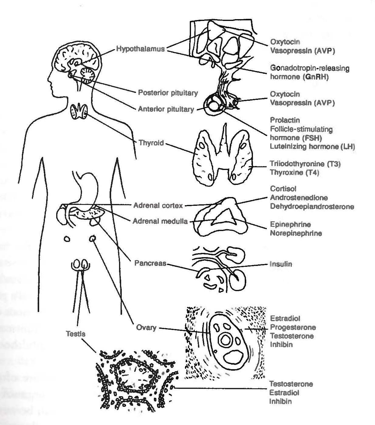 Endocrine System Unlabeled Diagram on Circulatory System Worksheets For Kids