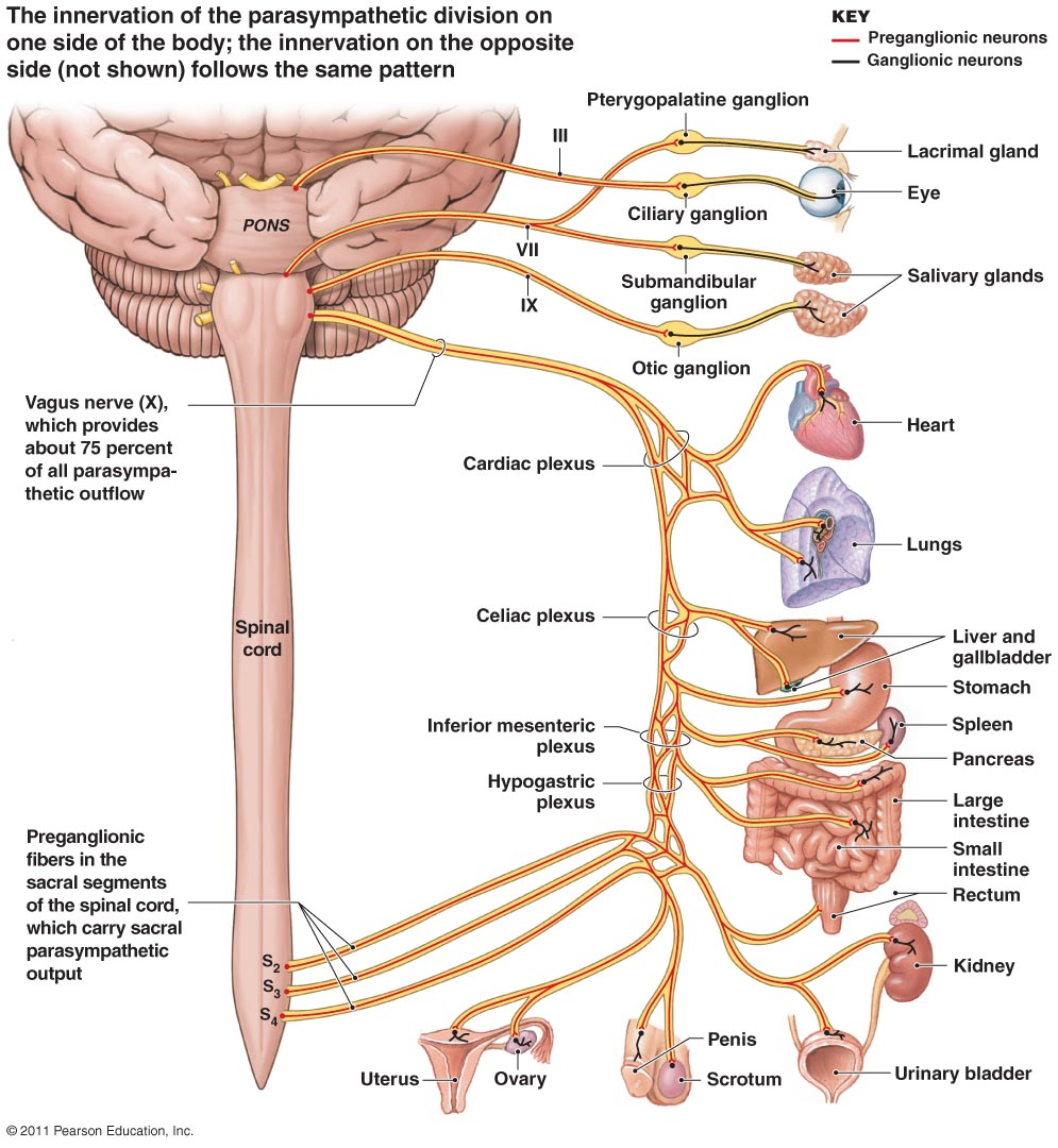 Full nervous system diagram labeled modernheal full nervous system diagram labeled ccuart Choice Image
