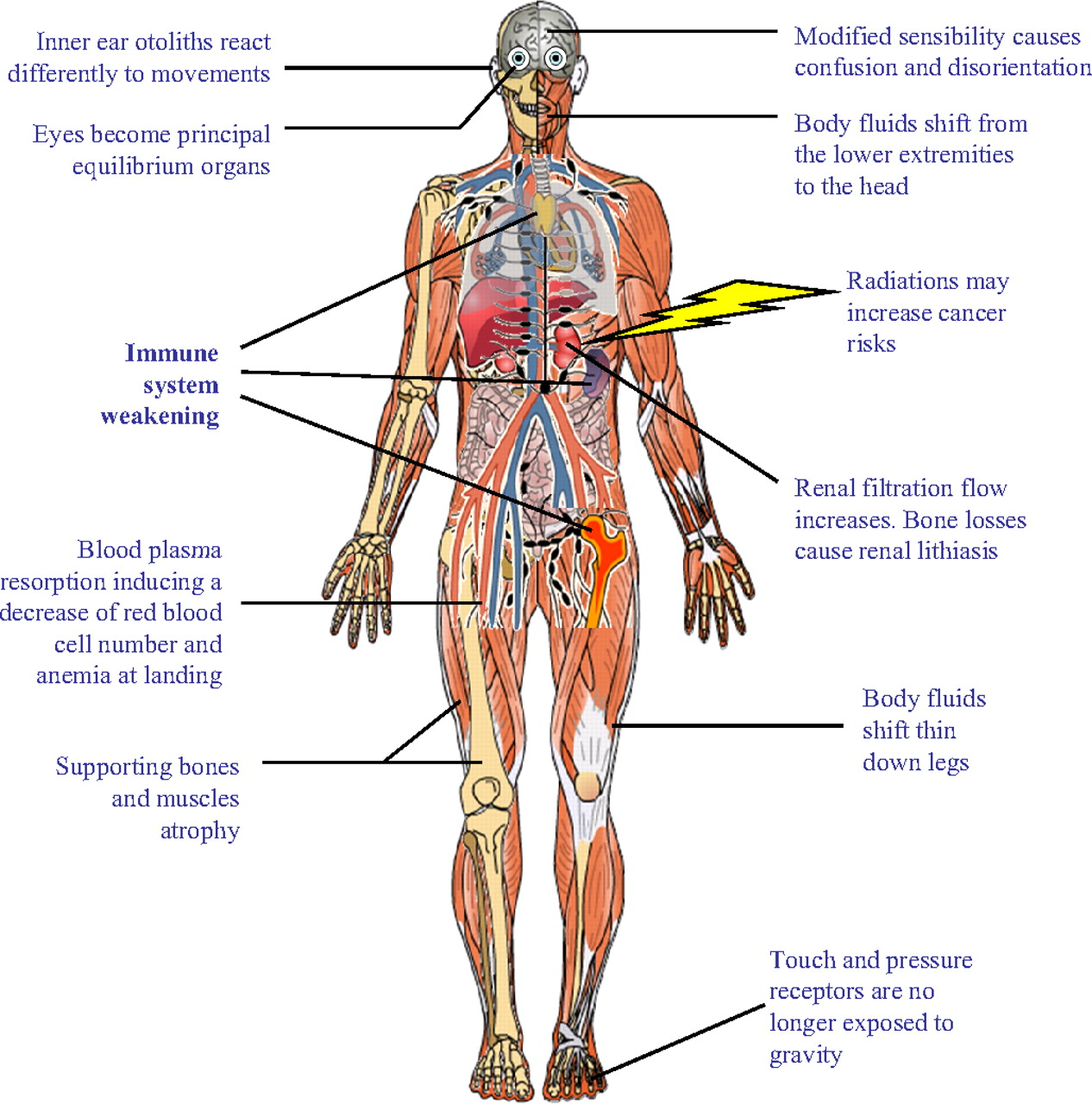 Upper Leg Muscle Diagram Leg Muscles Diagram Clipart Clipart Kid moreover Dog anatomy poster large furthermore Fetal Circulation Labeled besides Blood Vessels Arteries And Veins Blood Vessel Wikipedia together with 2014 Circulatory System. on back circulatory system