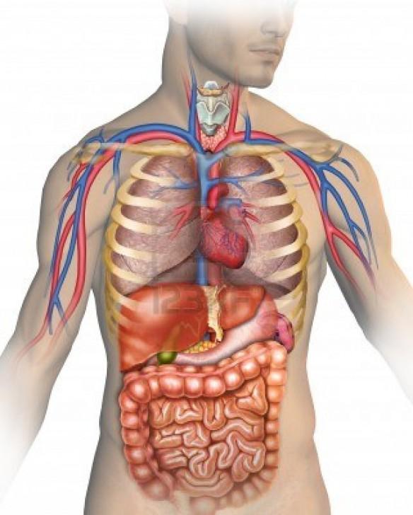 human body systems diagram blank