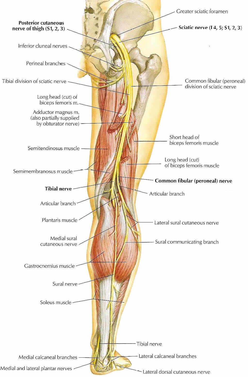 Female Nervous System Diagram Right Leg - House Wiring Diagram Symbols •