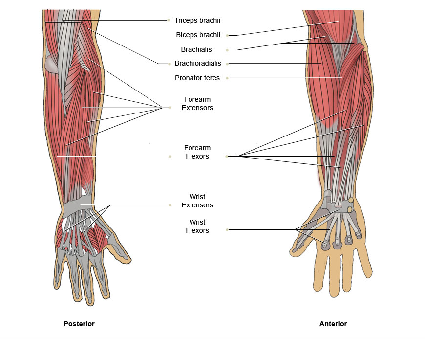 muscles of the arm and chest - ModernHeal.com