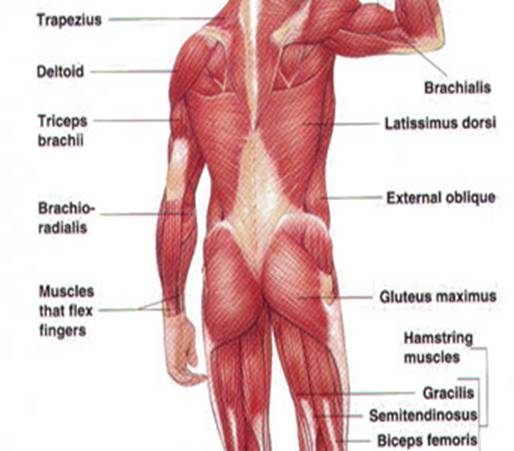 Muscles Of The Arm And Forearm Diagram Modernheal