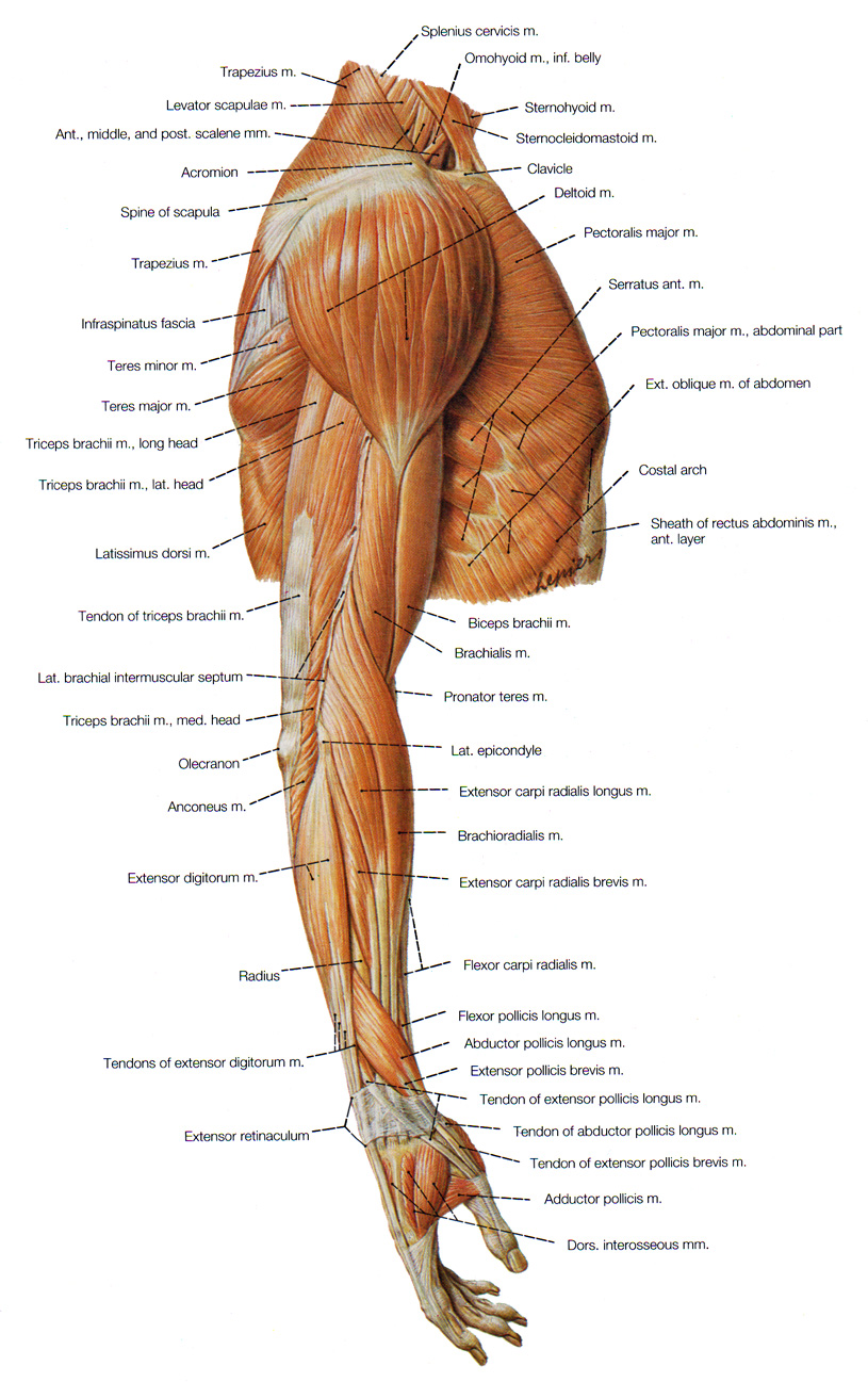 muscles of the arm and forearm - ModernHeal.com