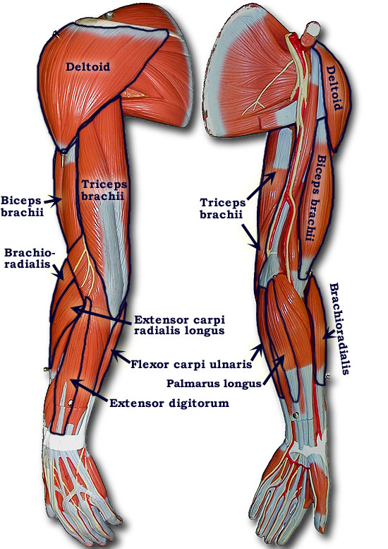 muscles of the arm and hand - ModernHeal.com