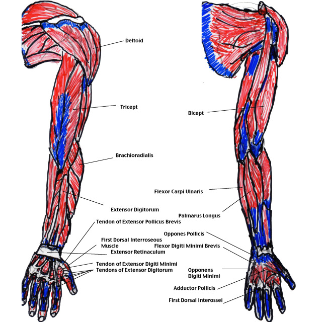 Muscles Of The Arm Diagram Modernheal Com