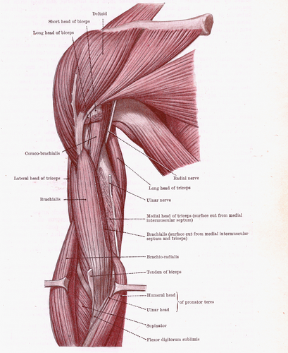 muscles of the arm diagram muscles of the arm diagram modernheal com