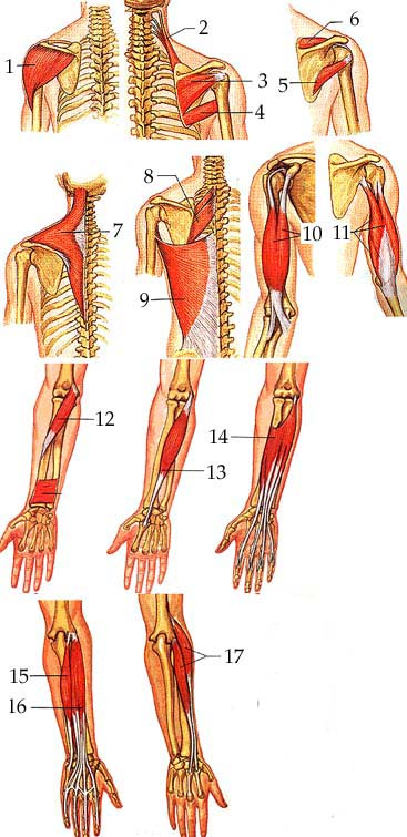 muscles of the arm pictures