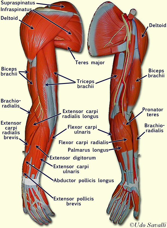 muscles of the armpit - ModernHeal.com