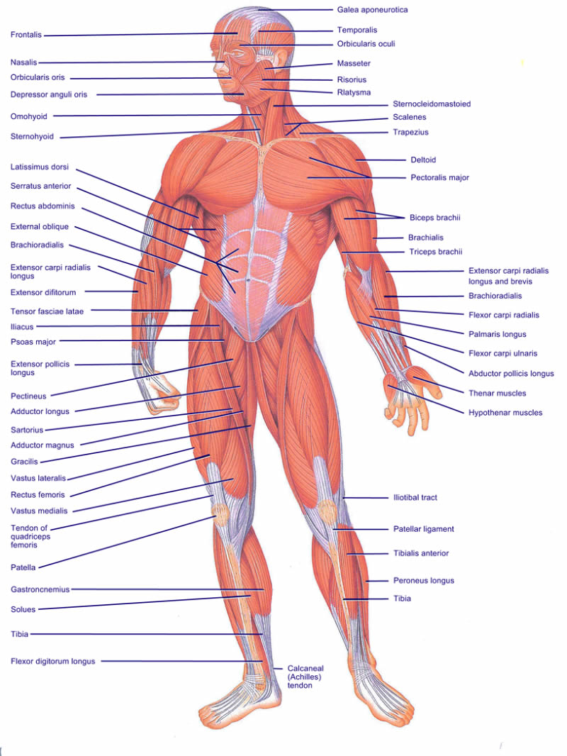 muscles of the body blank diagram modernheal com
