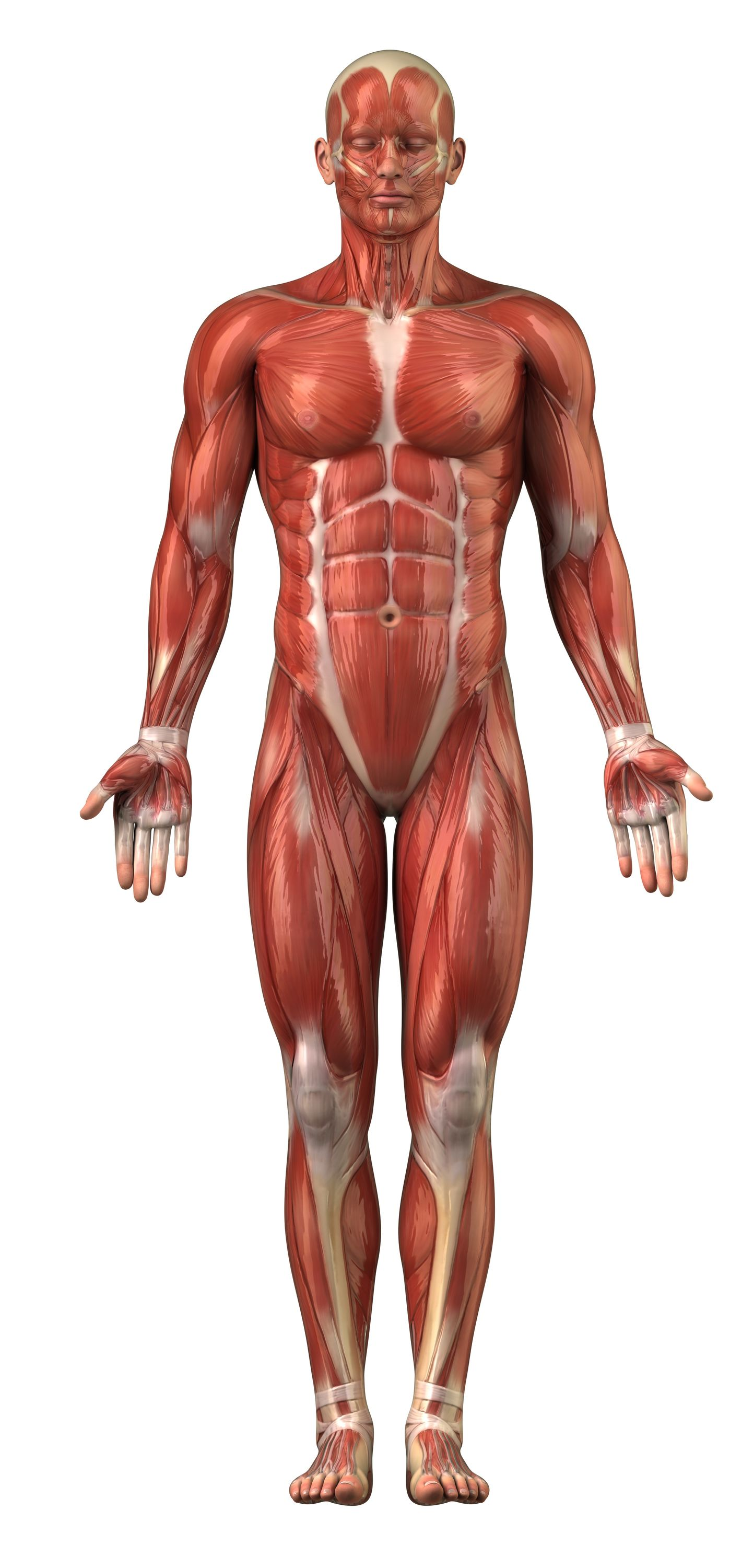 Muscles Of The Body Diagram For Kids Modernheal