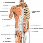 muscles of the body picture