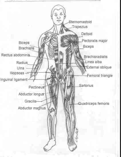 Muscles Of The Chest Diagram Picture Modernheal