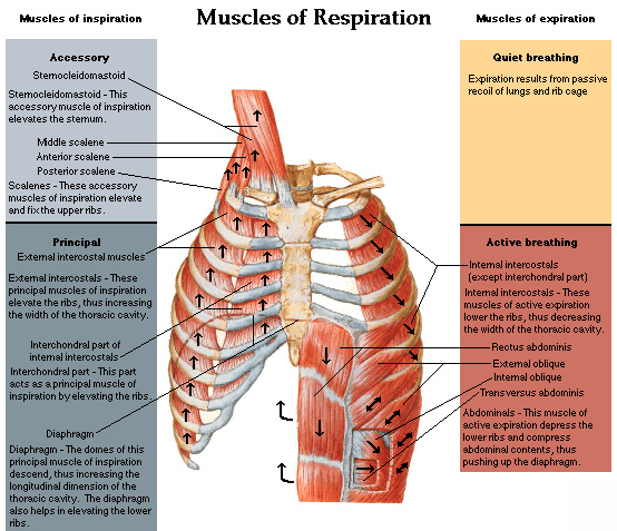 muscles of the chest shoulder and upper limb origin and insertion ...