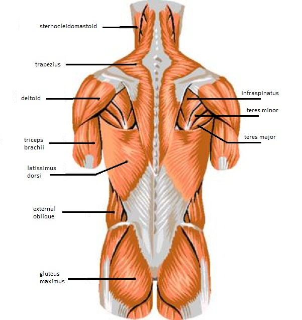 271647 besides Watch further Fill In Blanks For Body Parts How To Say The Names Of Body Parts In French 3 Steps Esl as well Skeletal System Diagram Unlabeled also Thoracic Duct Lymph. on nervous system labeling exercises
