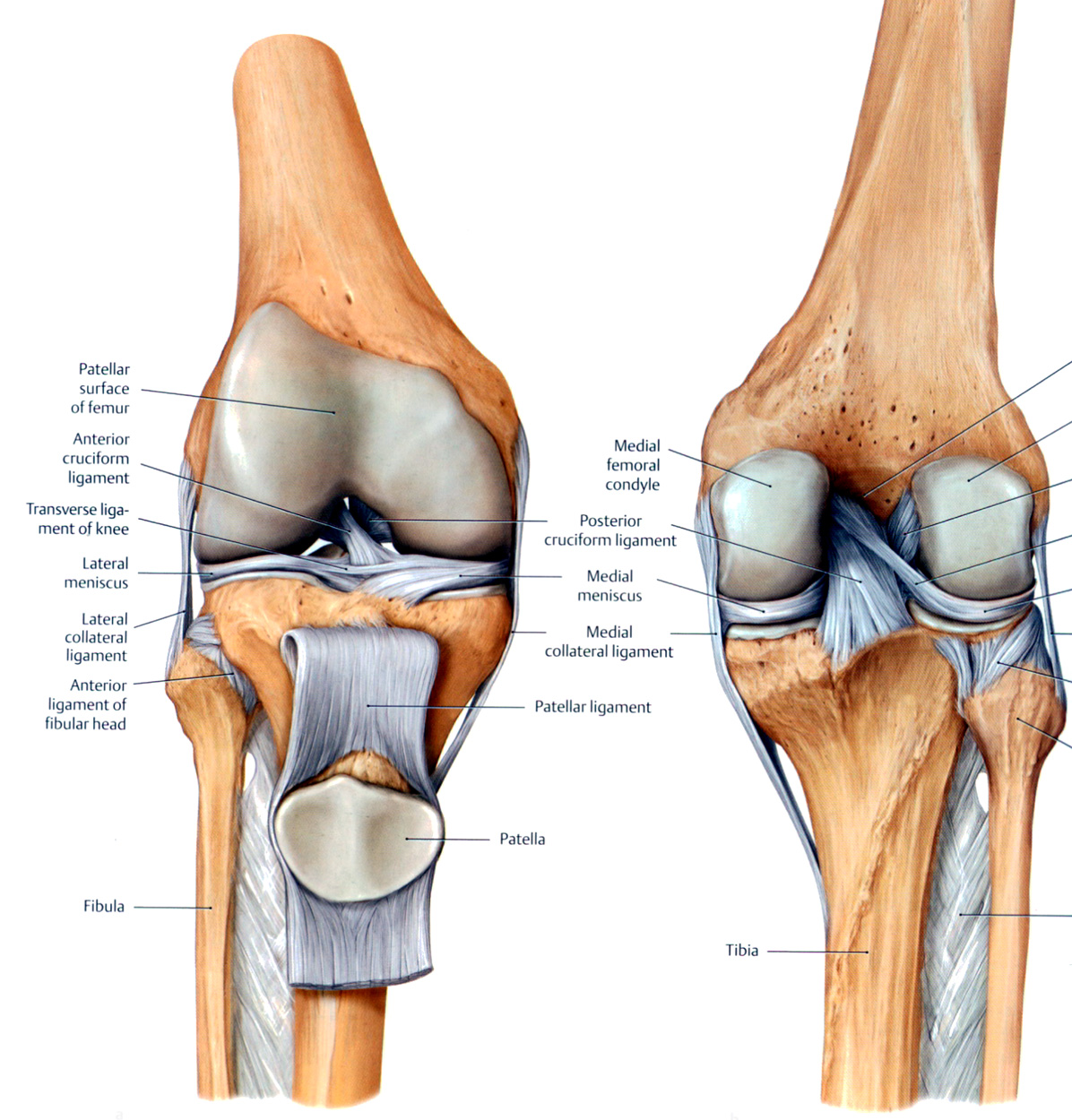 Muscles Of The Knee Vatozozdevelopment