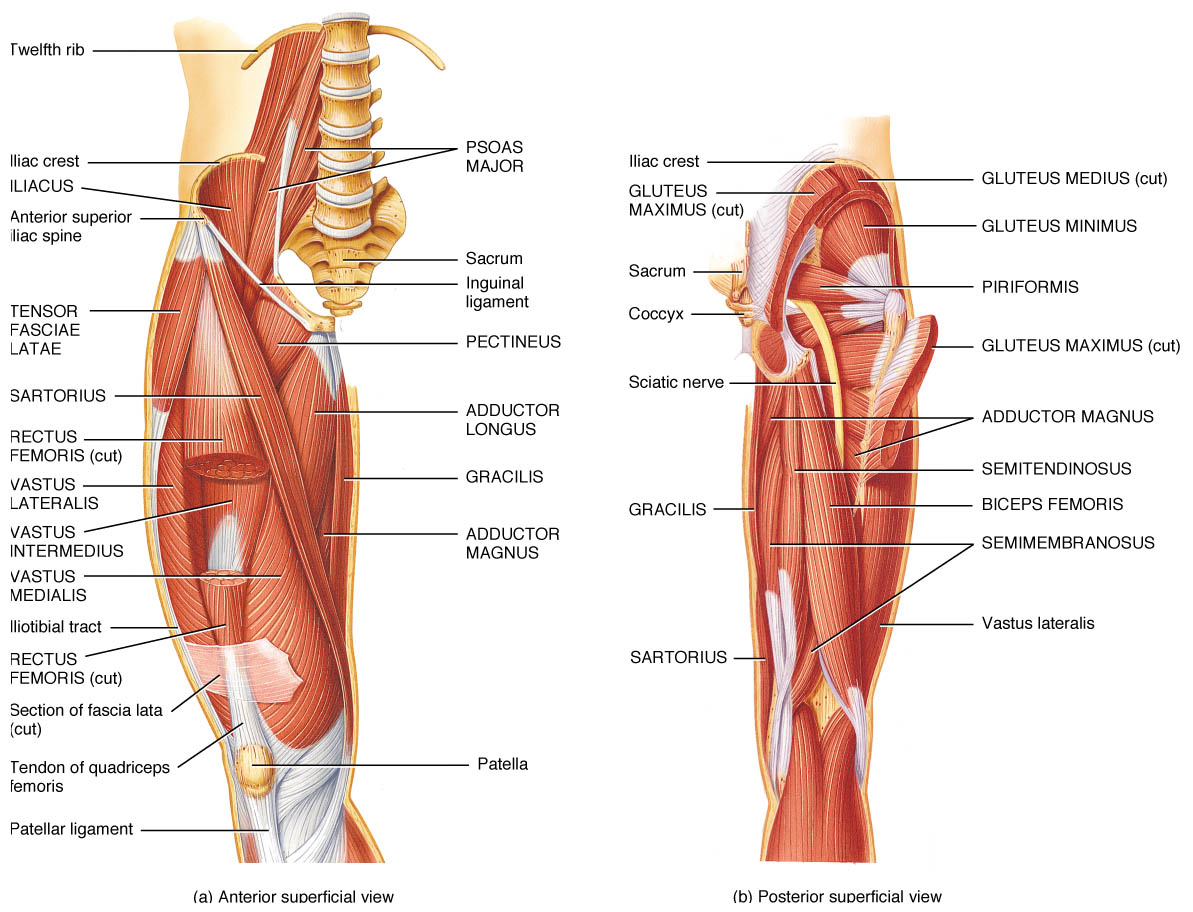 Knee Anatomical Diagram Of Leg Muscles House Wiring Diagram Symbols