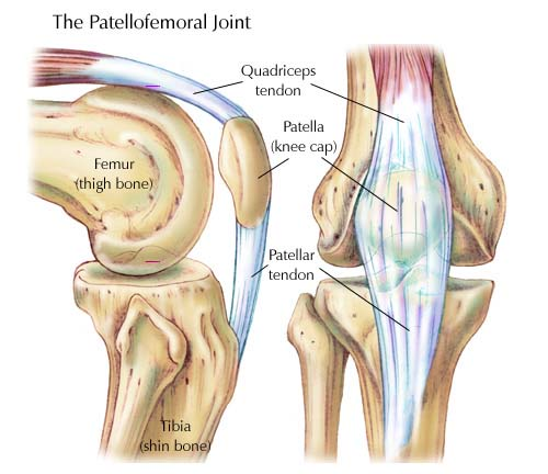 muscles of the knee joint picture