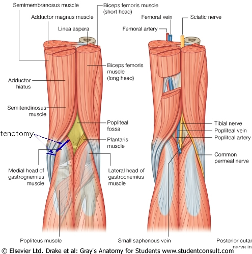 Muscles Of The Knee Joint Modernheal