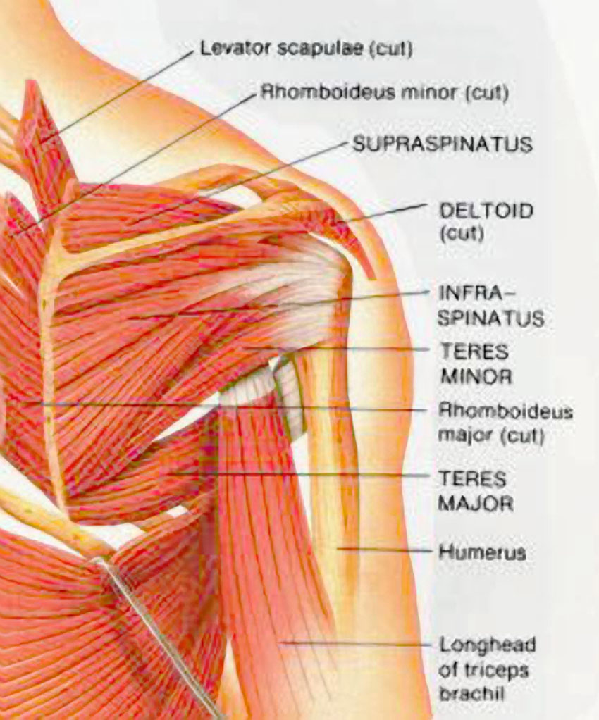 muscles of the shoulder posterior - ModernHeal.com