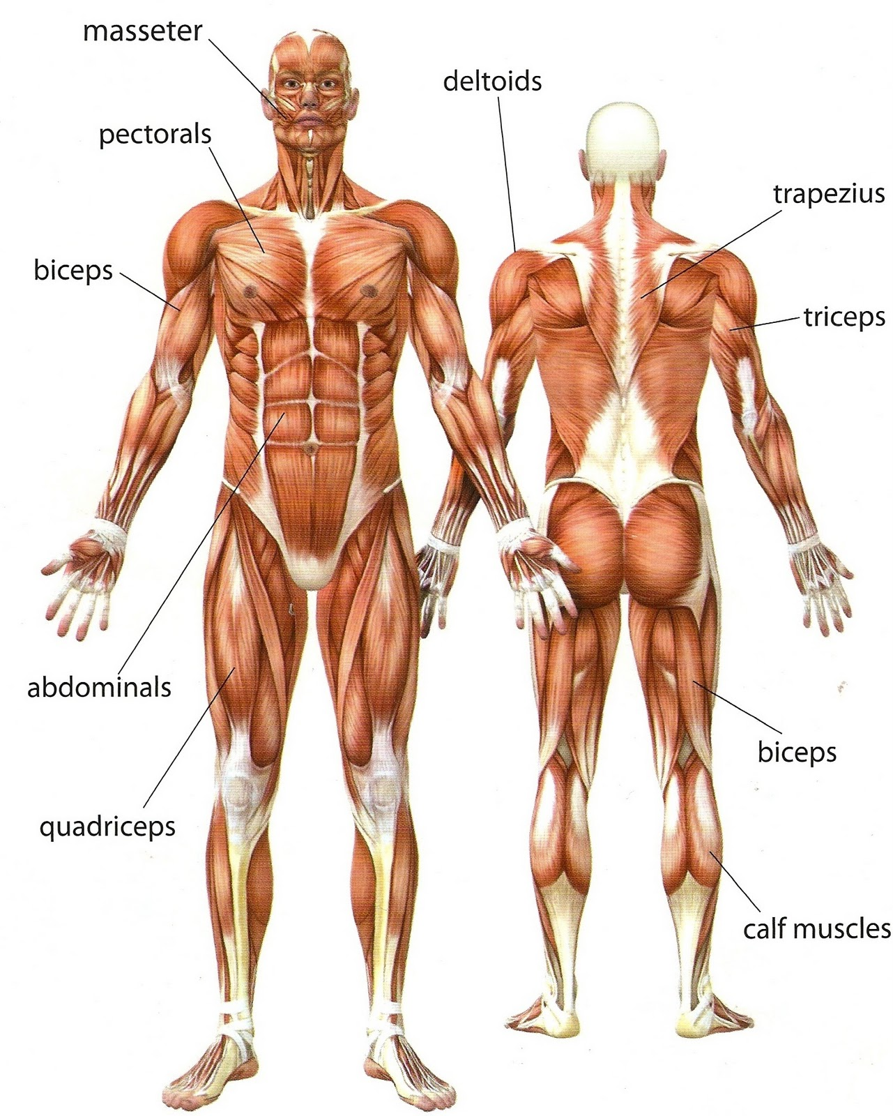 Muscles Of The Upper Body Modernheal