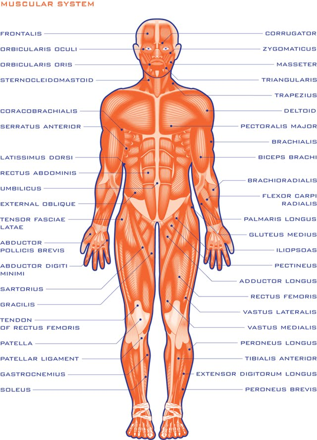 Muscular System Anterior And Posterior View Modernheal