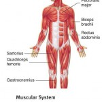 muscular system blank diagram
