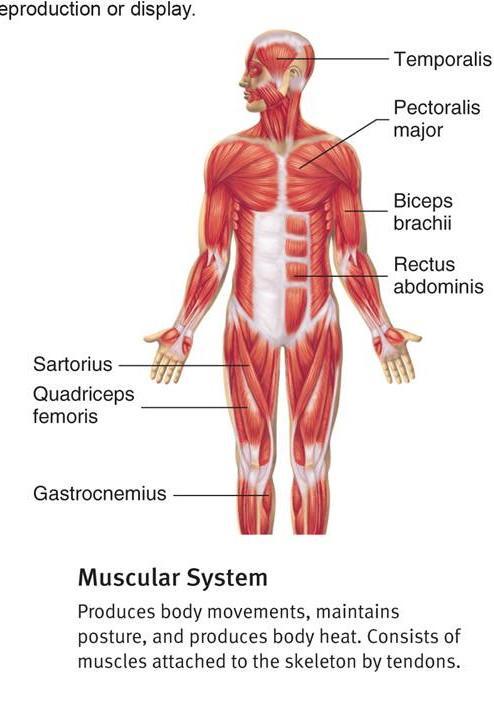 muscular system blank diagram