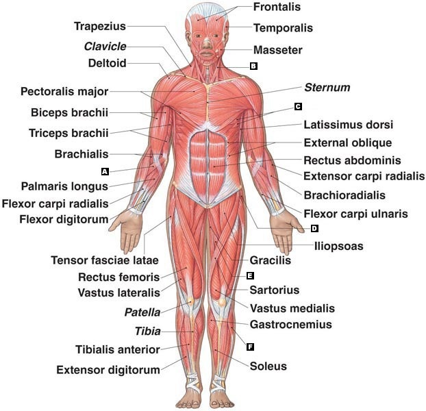 muscular system definition - ModernHeal.com