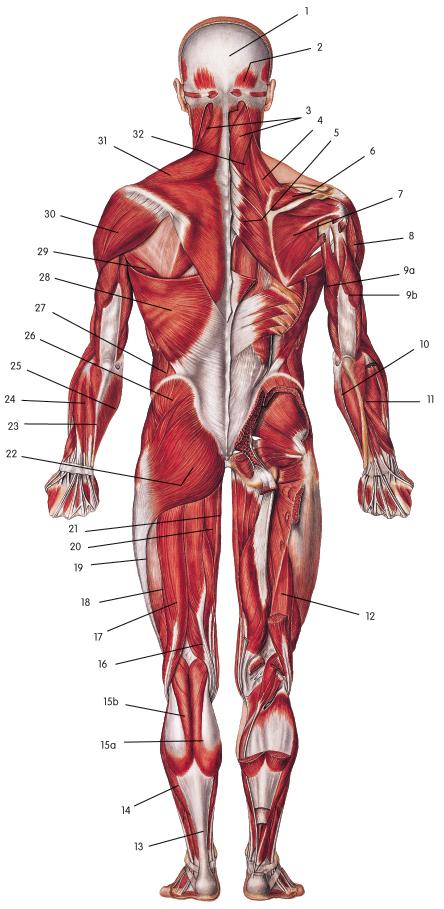 muscular system diagram - ModernHeal.com