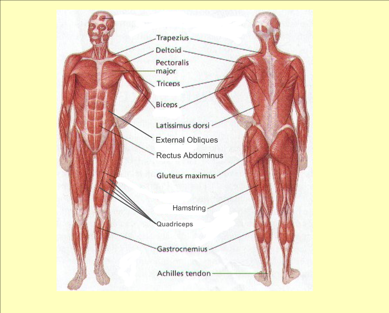 Blank Medical Diagram Human Body Muscles Trusted Wiring Diagram