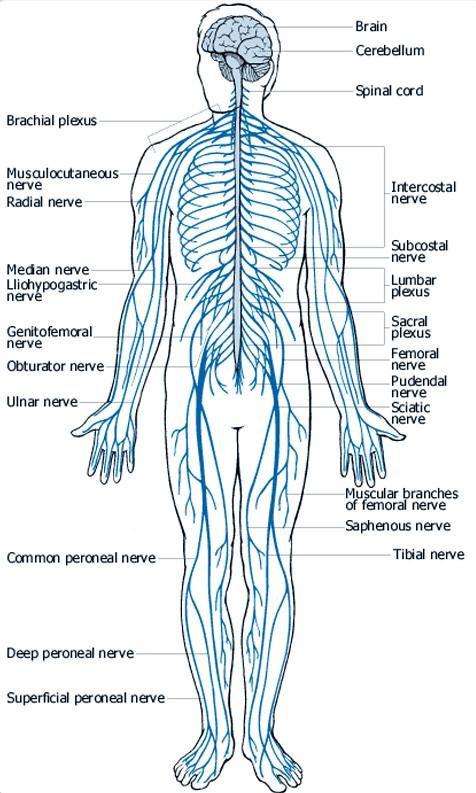 nervous system diagram blank. Black Bedroom Furniture Sets. Home Design Ideas