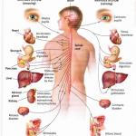 nervous system diagram no labels