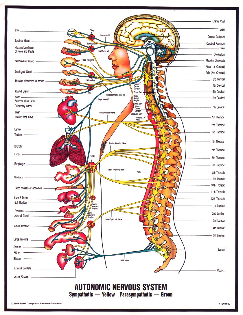 Peripheral Nervous System Diagram For Kids Modernheal