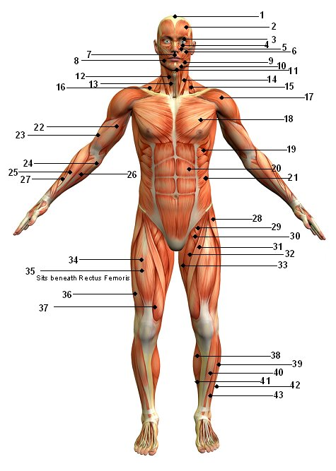 posterior muscles of the body unlabeled - ModernHeal.com