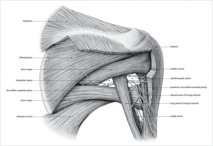 superficial muscles of forearm