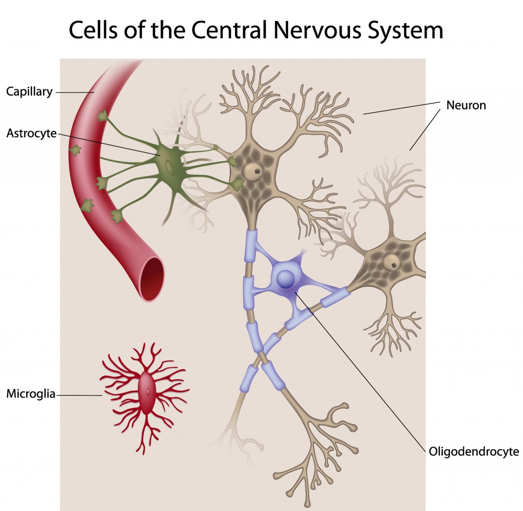 the nervous system brain labeled - ModernHeal.com