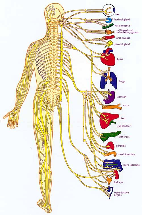 the nervous system diagram unlabeled ModernHealcomNervous System Diagram Labeled And Unlabeled