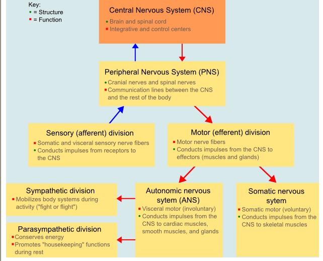 The Nervous System Simple Diagram Modernheal