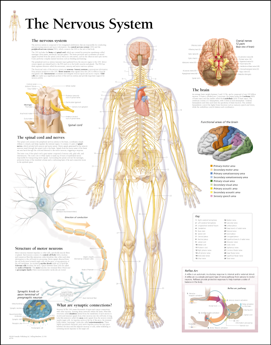 Modern Muscular System Anatomy And Physiology Ppt Gallery - Human ...