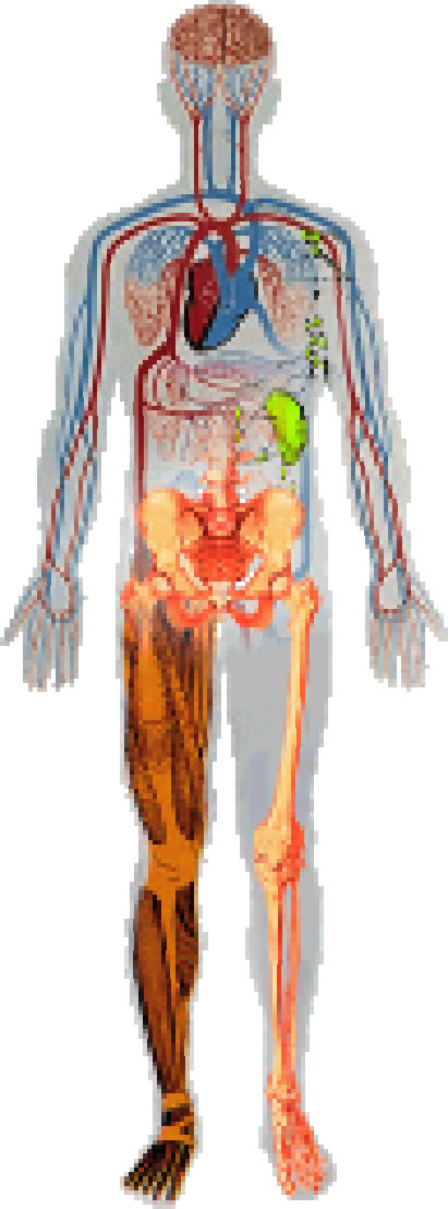 11 human body systems and functions - ModernHeal.com