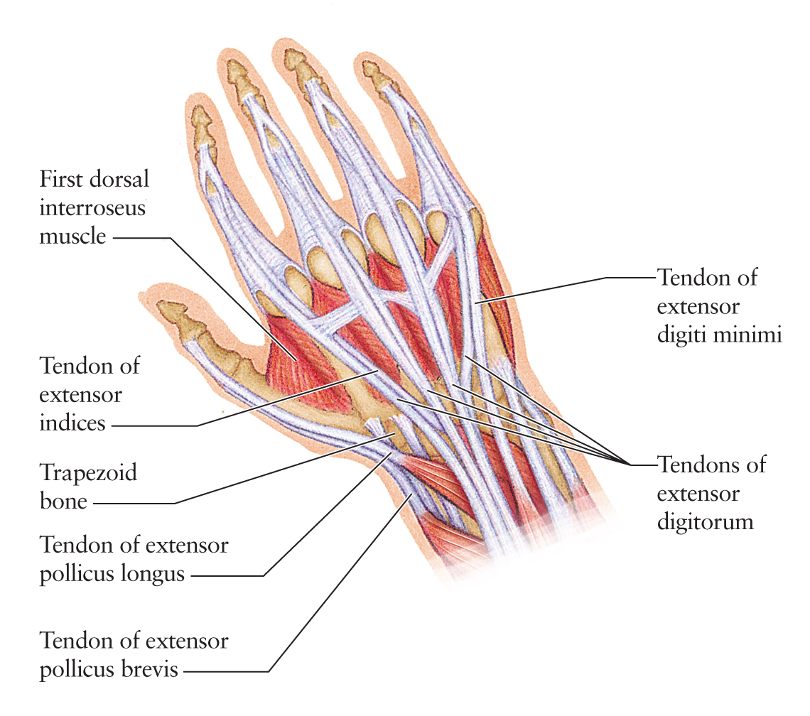 Anatomy Of The Left Arm And Hand Picture Modernheal