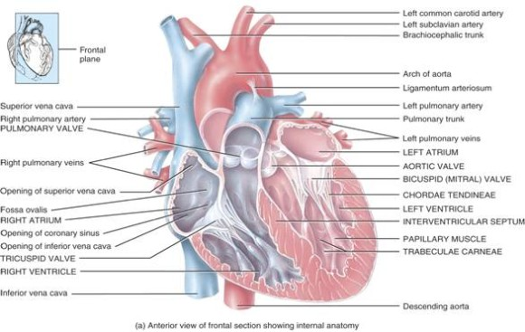 chordae tendineae and papillary muscles function - ModernHeal.com