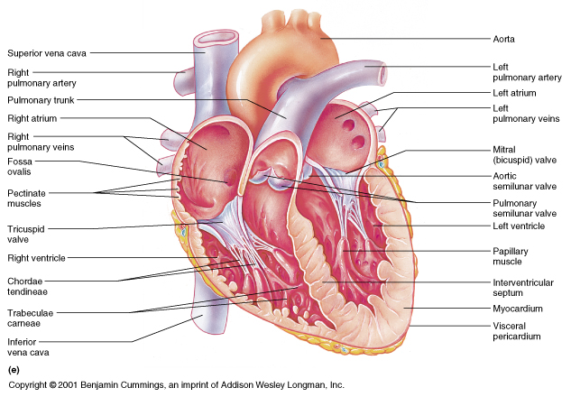 chordae tendineae calcification