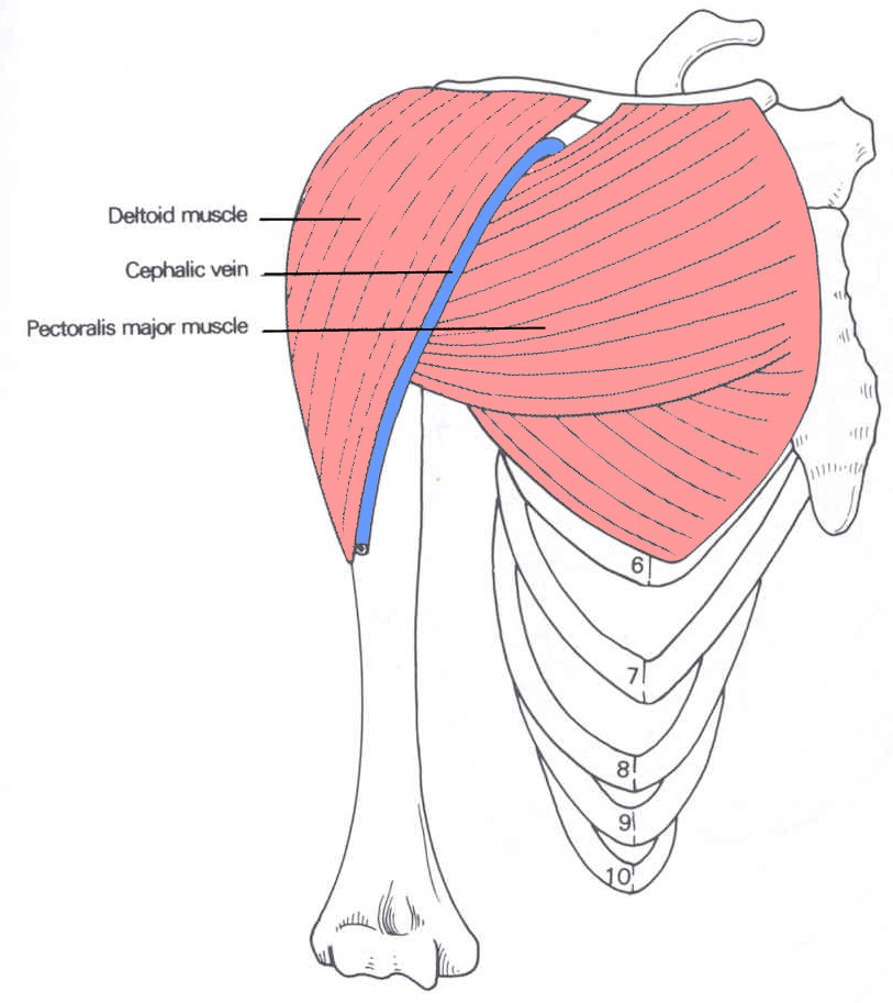 deltoid muscle attachment - ModernHeal.com