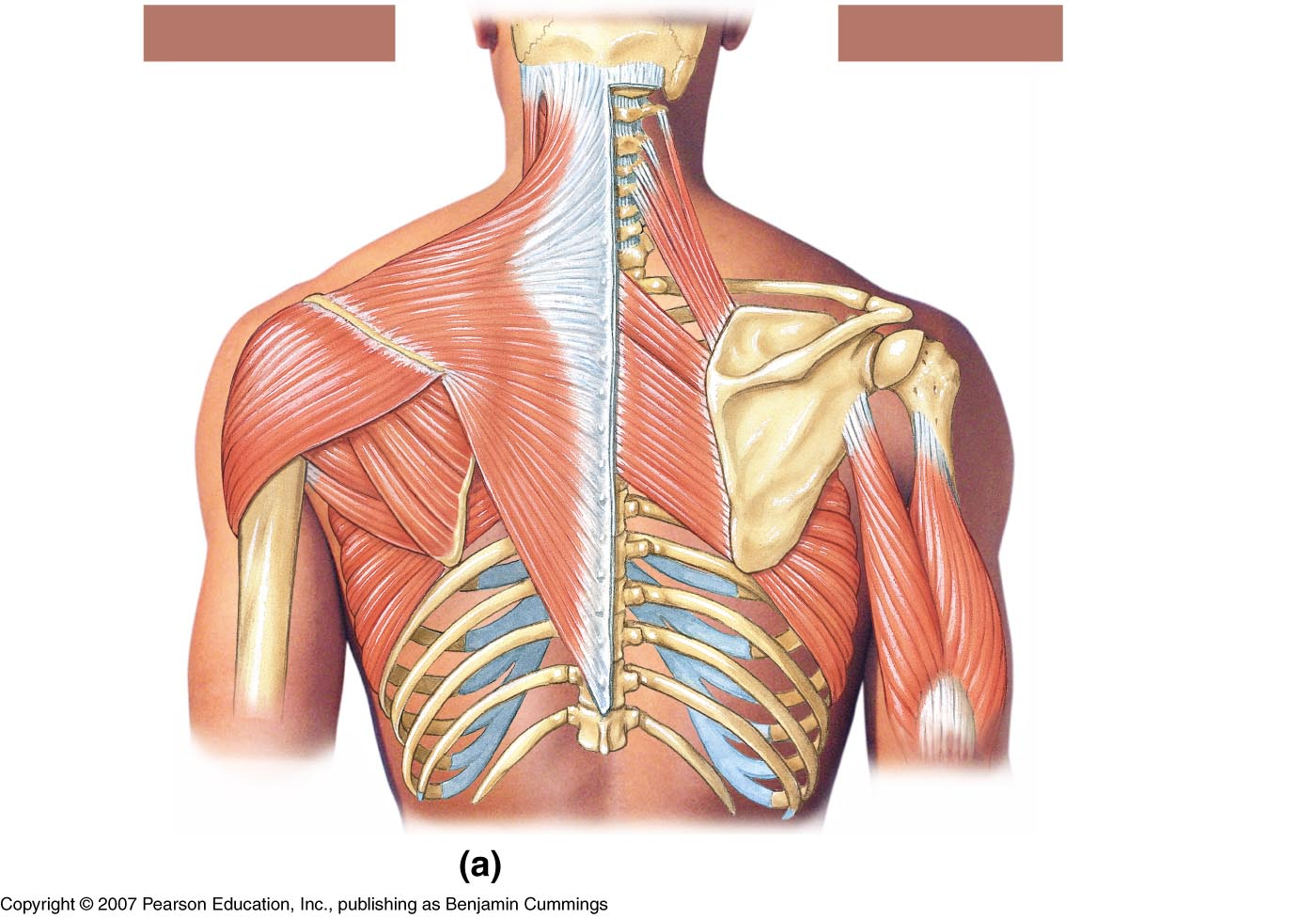 Shoulder Muscles Diagram Unlabeled Wiring Circuit